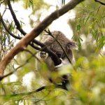 koala-photos
