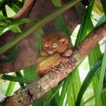 philipine-tarsier-center